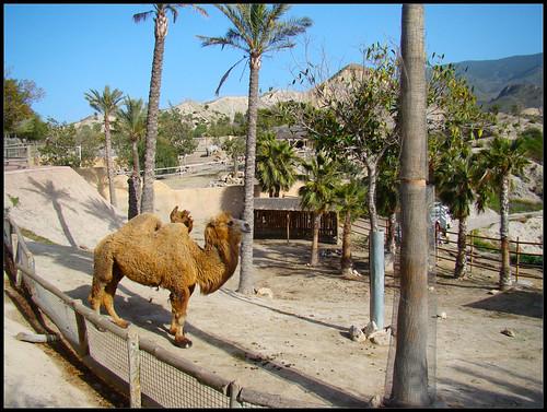 Camellos en Tabernas