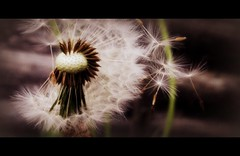 Dandelion seeds (pics by paula) Tags: flower by canon flora pics edited powershot dandelion seeds paula picnik g12