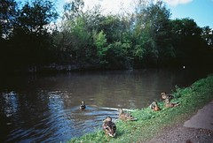 OT500 - Ducks on the Canal (johnnytakespictures) Tags: olympus trip500 film analogue automatic kodak colorplus200 expired warwickshire coventy canal river stream towpath walk summer sun sunshire nature natural duck ducks birds animals animal