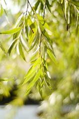 Willow (mellting) Tags: eskilstuna eskilstunastadspark platser bloggad flickr instagram matsellting mellting nikkor5018 nikon nikond7000 sverige sweden tree willow pil salix bokeh leaf