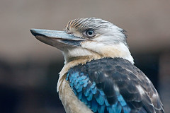 Kookaburra (Lachender Hans) (astroaxel) Tags: zoo duisburg kookaburra lachender hans deutschland nrw nordrhein westfalen nordrheinwestfalen