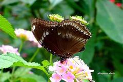 Patria, Minerva y María Teresa (Altagracia Aristy Sánchez) Tags: columbus ohio butterfly américa papillon borboleta mariposa farfalla fujif40 altagraciaaristy