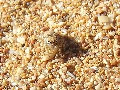 Jumping spider Salticidae 0035 (Bill & Mark Bell) Tags: geo:town=exmouth exmouth westernaustralia geo:state=westernaustralia geo:lon=11425453egeolat2217752s11425453e2217752s geo:alt=8m taxonomy:kingdom=animalia eumetazoa taxonomy:subkingdom=eumetazoa arthropoda taxonomy:phylum=arthropoda chelicerata taxonomy:subphylum=chelicerata taxonomy:class=arachnida araneae taxonomy:order=araneae araneomorphae taxonomy:infraorder=araneomorphae salticoidea taxonomy:superfamily=salticoidea taxonomy:family=salticidae salticidae arachnida australia animalia 8m2217752s11425453e geo:country=australia spider