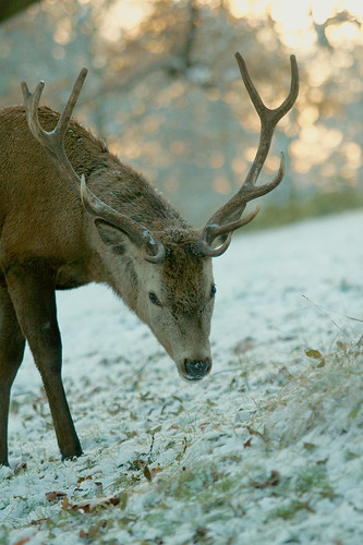 Deer in the snow at wollaton park