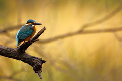 Small Blue KingFisher (Vi. Ko. (Vikas K.)) Tags: life wood blue wild india color green bird nature beautiful beauty animal yellow pose king branch bokeh wildlife safari kingfisher fisher maharashtra vikas pune canter rajasthan kf ranthambhore viko kharadi koshti vikovikask ppjan11