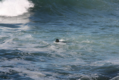 Seal at La Jolla, California