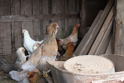Look, Thumbmonkey, I Don't Know What You're Planning. But I Do Not Like The Look Of Things: Chickens in a covered shed with an upturned wheelbarrow.