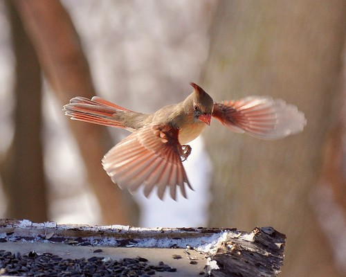 Female Cardinal Fly-by