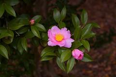 Camellia sasanqua (Jim Mayes) Tags: digital pentax zoom k100d smcpentaxda135561855mmal