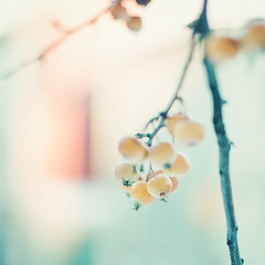Winter light (Karin A ~) Tags: november light tree berries dof bokeh gothenburg karina winterlight