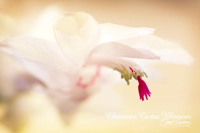 Christmas Cactus Blossom