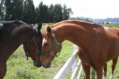 (rdlt) Tags: horses horse caballo caballos