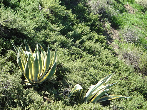 Variegated Agaves in Hillside
