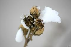 Boccioi ivi (Greta) Tags: snow macro blossom bokeh neve bocciolo boccioli gretamancini