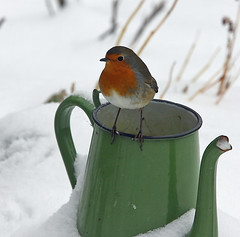 Op het randje (ad.elshout) Tags: robin birds vogels redbreast roodborstje