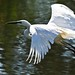 Great Egret 01