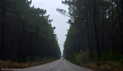 Estrada que atravessa o pinhal