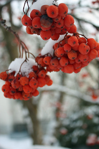 Mountain ash berry bunches