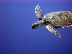 Loggerhead Sea Turtle in blue water near Alung Banua Reef (mattk1979) Tags: blue water coral indonesia underwater turtle scuba diving reef sulawesi loggerhead manado celebessea bunaken alungbanua