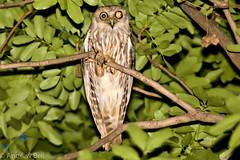 Barking Owl (Andrew Ian Bell) Tags: birds owls barkingowl