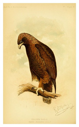 023-Aguila dorada-The hawks and owls of the United States..1893- Albert Kenrick Fisher