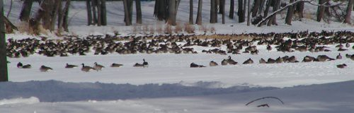 geese12-26-10rs