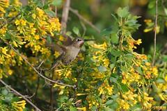 Anna's Hummingbird 022810-51 (luluhachidori) Tags: california pink orange bird canon eos hummingbird purple allens southern 7d annas costas   allofnatureswildlifelevel1 allofnatureswildlifelevel2