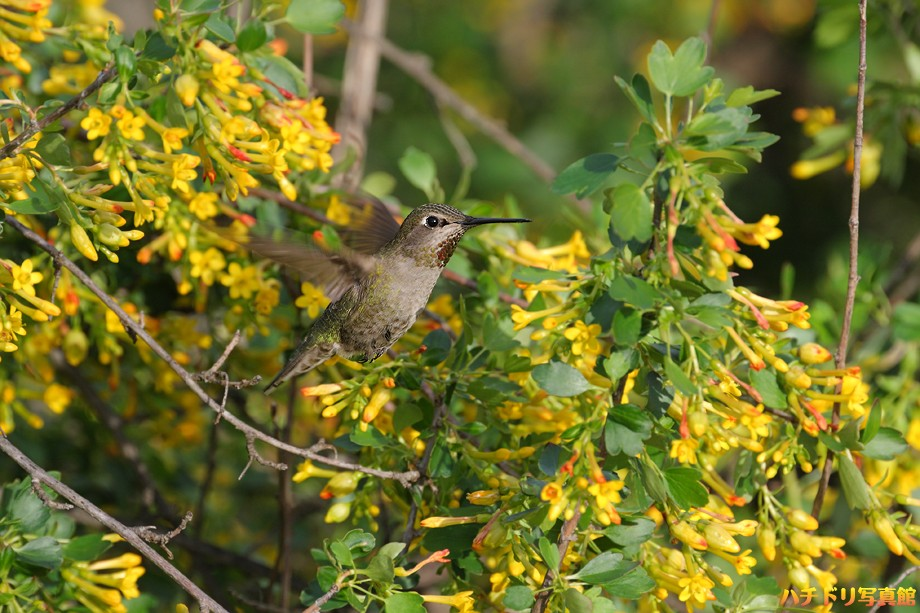 Anna's Hummingbird 022810-51