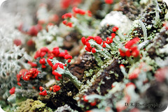 British soldier lichen (D. R. Images) Tags: life red macro green nature closeup ga georgia soldier nikon afternoon d wildlife growth micro british lichen mm 1855mm 1855 nikkor 80 thursday vr usnea lithiasprings d80 britishsoldier nikond80 parmeliaceae