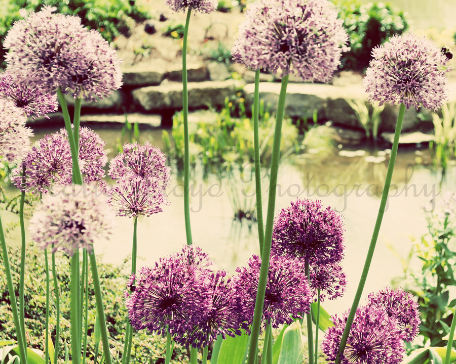 Allium-Garden---8x10-wm