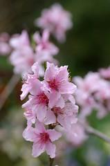 2008年3月28日の桃の花
