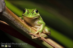 Bell Frog (omakiwi) Tags: wild color macro green eye nature animal closeup fauna chorus forest dark one colorful close natural bell reptile finger background wildlife small amphibian frog single toad environment species copyspace staring greenfrog gripping bellfrog