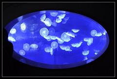 L' Oceanografic (benth0s) Tags: fish valencia spain jellyfish acquarium jelly valenza acquario spagna oceanographic