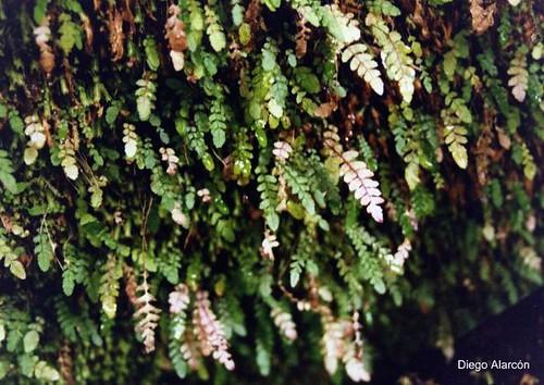 Una población de <i>Blechnum corralense</i> creciendo en una zona rocosa y sombría bajo un bosque siempreverde en la Provincia de Palena, Región de Los Lagos.