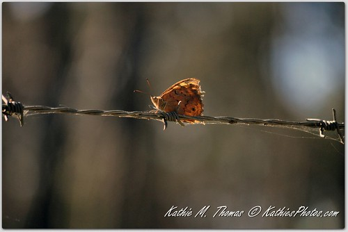 Butterfly on fence wire