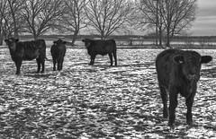 cattle animosity (davedehetre) Tags: winter sky bw white snow black field delete10 clouds delete9 delete5 delete2 cattle cows delete6 farm delete7 delete8 delete3 delete delete4 save monochrom hdr deletedbydeletemeuncensored