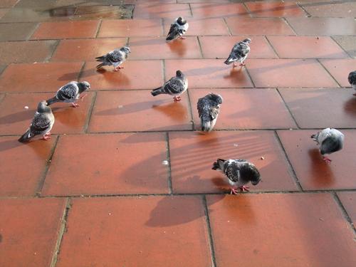 pigeons preening