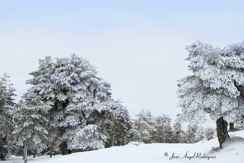 ÁRBOLES CON NIEVE / TREES WITH SNOW