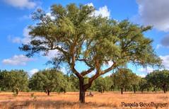 Large Cork Tree in Portugal HDR (Pamela Bevelhymer) Tags: tree portugal oak cork southern pamela alentejo alto forests hdr the bevelhymer roviscogarcia corkfarm montado