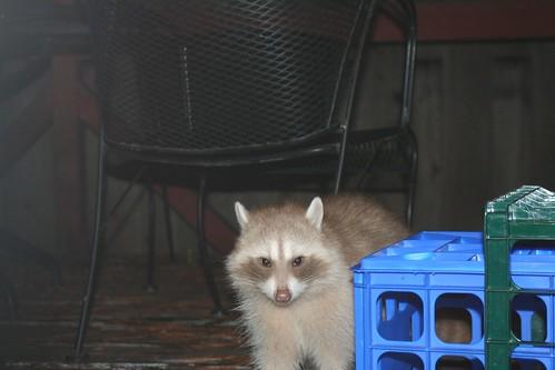 raccoon white2 ann sevier wc