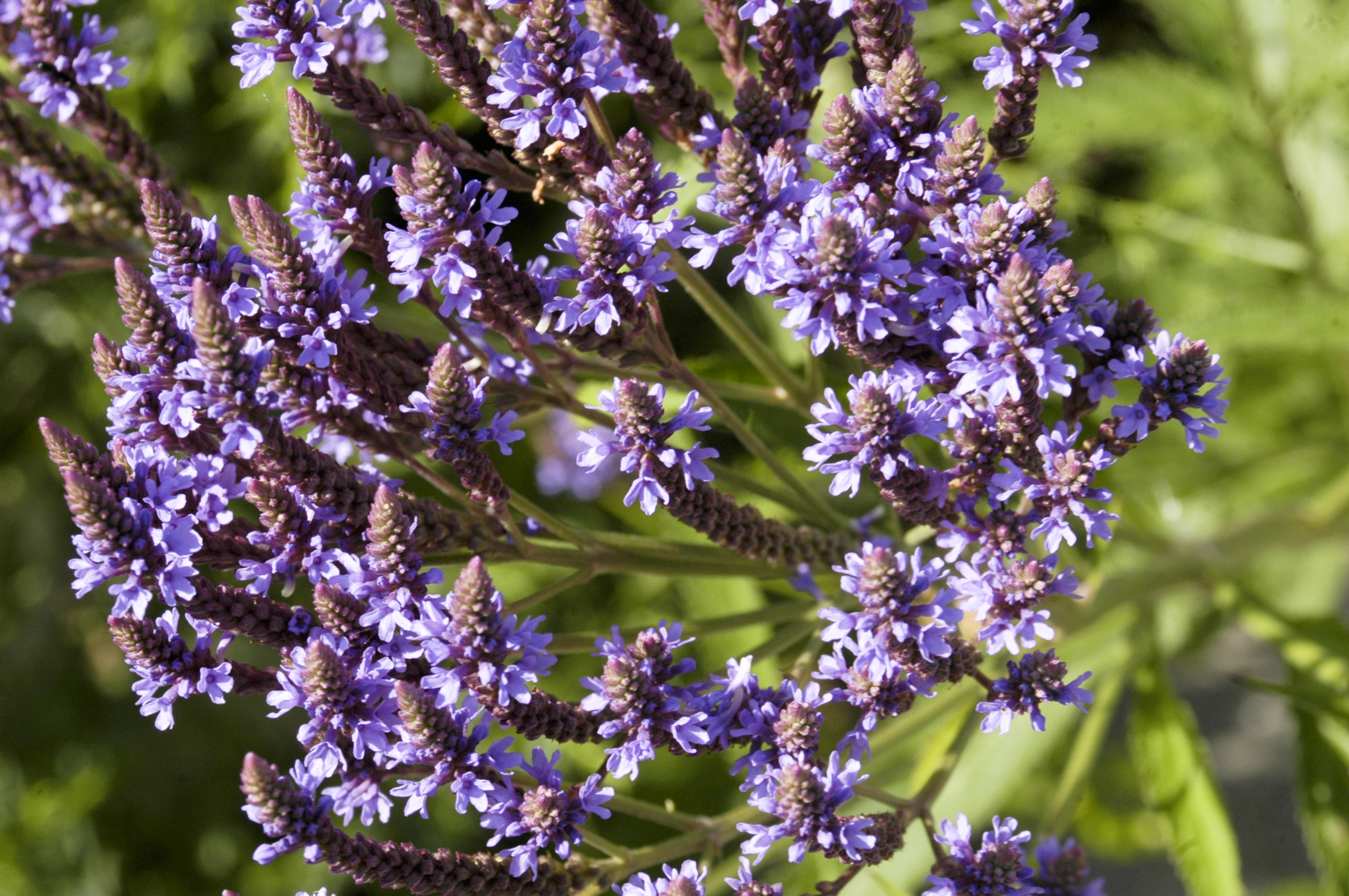Image of Verbena hastata