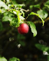 plum (Cath S (sn000py)) Tags: tree plum 365 day16 16365 redplum