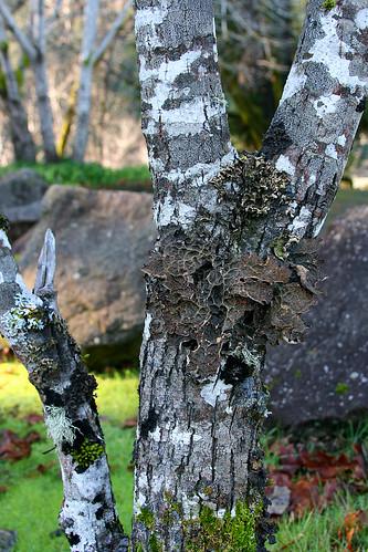 garberville_lichen-19