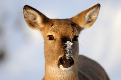 White-tail Deer DSC_7456 (Ron Kube Photography) Tags: canada nature animal fauna mammal nikon deer alberta whitetail whitetailed odocoileusvirginianus whitetaildeer southernalberta d300s ronaldok nikond300s ronkubephotography
