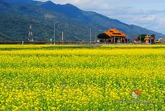 20110118_0270_花東縱谷_油菜花季