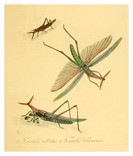 009-Fruxalis vittatus-Natural history of the insects of China…1842- Edward Donovan