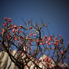"Red ""ume"" blossoms."