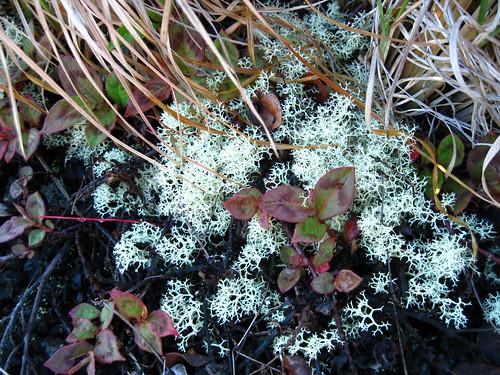 Lava lichen