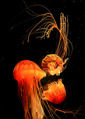 Jelly Fish and the Aquarium (Dave Toussaint (www.photographersnature.com)) Tags: ocean california ca travel vacation orange usa fish nature water photoshop canon aquarium photo interestingness interesting colorful pacific cs2 picture photographers explore indoors longbeach adobe jelly southerncalifornia pacificcoast tentacles 2010 aquariumofthepacific otw 40d topazlabs topazadjust topazdenoise photographersnaturecom davetoussaint davetoussaintcom