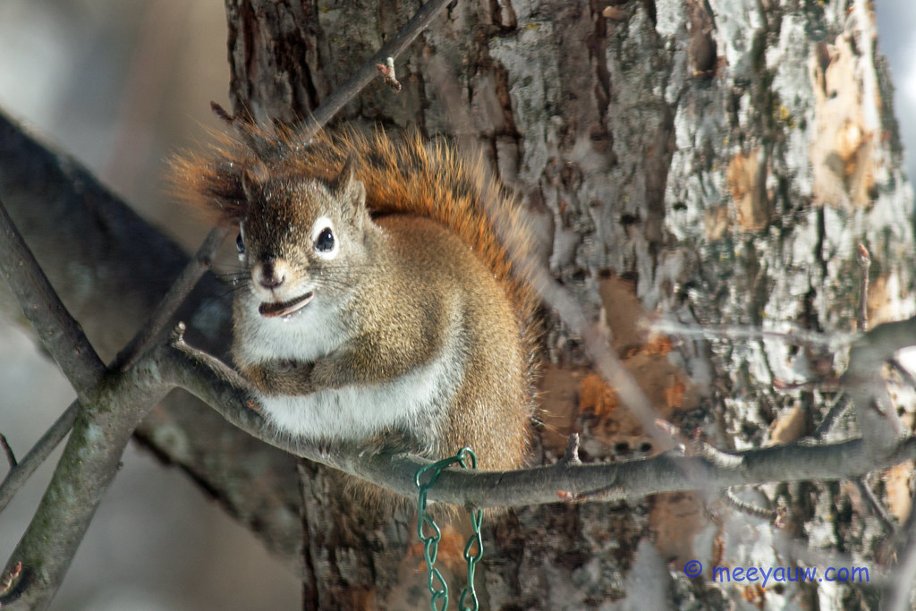red squirrel   90.jpg